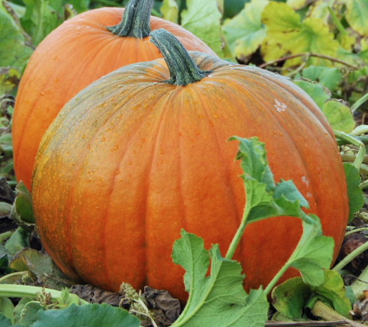 7522 – Warty pumpkins, happy cows, and driving the Negangard pumpkin patch